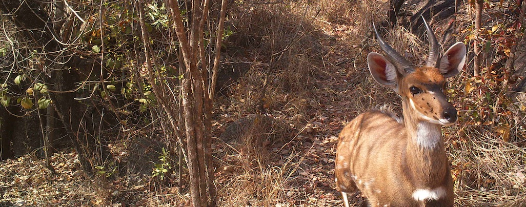 Bushbuck_male_facing_camera_JPG